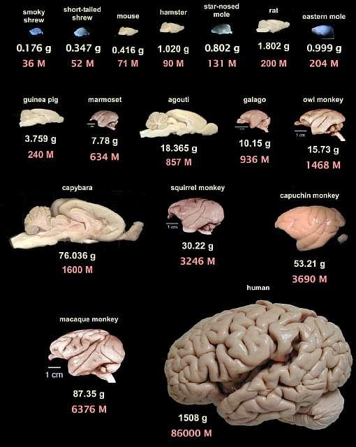 Четыре крупнейших мифа о человеческом мозге