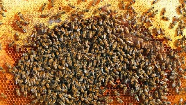 Пчёлы умеют замедлять процесс старения