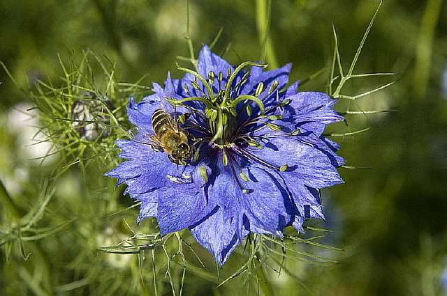 Цветы Nigella Sativa, черного тмина