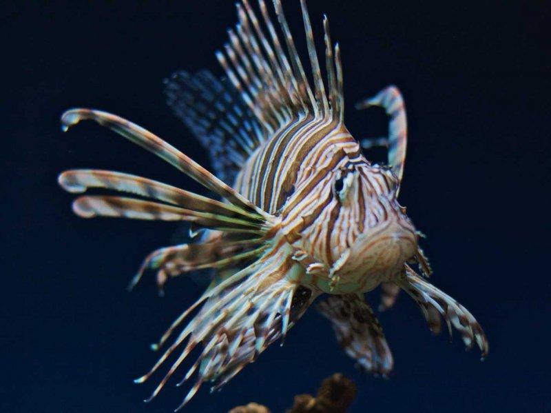 lionfish-3