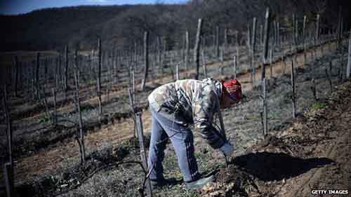 Собранный в Крыму виноград теперь является российским продуктом