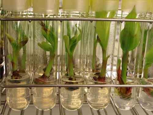 Лаборатория университета Лёвена, обладающая мировой коллекцией бананов