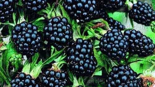 42 диких растения, которые можно употреблять в пищу