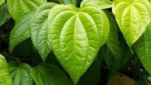 Листья бетеля