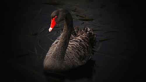black_swan-1561555