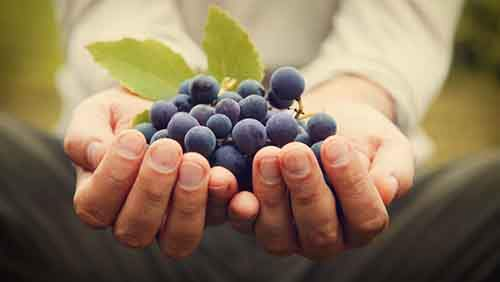 bigstock-Grapes-Harvest-51222910