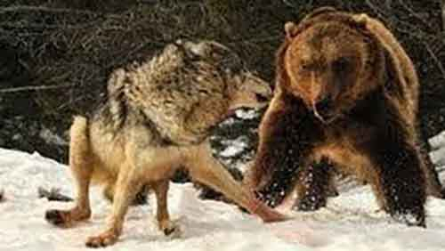 Волчья стая против медведя