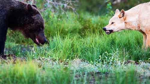 45608_bear_bear_vs_wolf