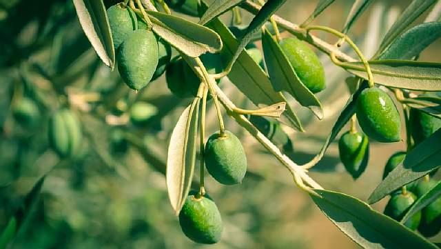 Что такое оливковое масло