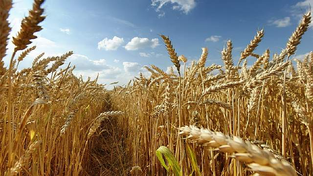 wheat-wallpaper-10