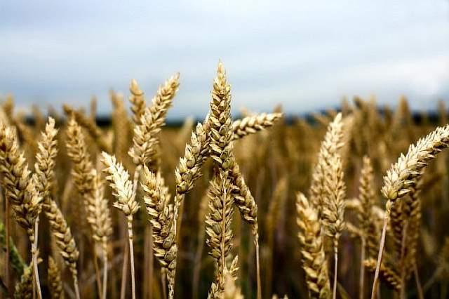 wheat-heads-istock
