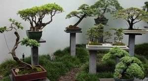 Как посадить дерево бонсай. Советы специалистов Vip Plants