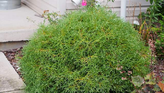 Thuja occidentalis 'Linesville' 2014