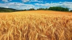 Россия экспортирует больше пшеницы, чем любая другая страна за последние 25 лет