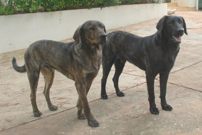 характеристики собаки породы као-де-кастро-лаборейро
